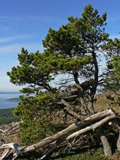 Alaska Shore Pine