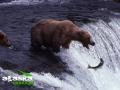 bear_catching_fish