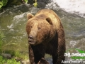 grizzly_bear_alaska