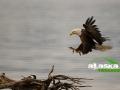alaska_bald_eagle