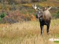 alaska_moose_picture