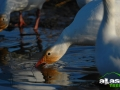 alaska_snowgoose_picture