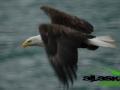 bald_eagle_alaska