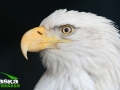 bald_eagle_picture