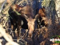 moose_picture