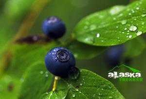 alaska_blueberry