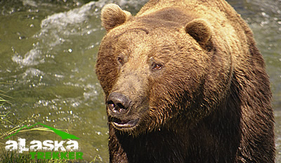 alaska_brown_bear