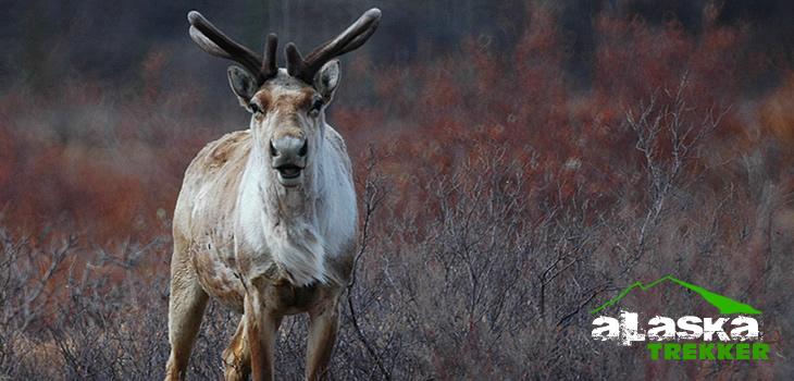 alaska_caribou
