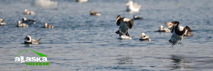 alaska ducks