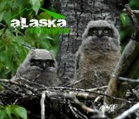 alaska_owls