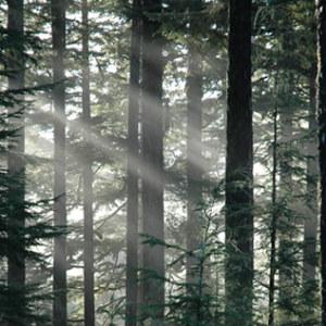 Trees Alaska Rainforest Tree