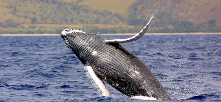 Alaska Whales Whale Facts and Pictures