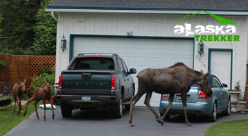 anchorage_moose