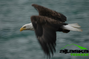 bald_eagles_alaska