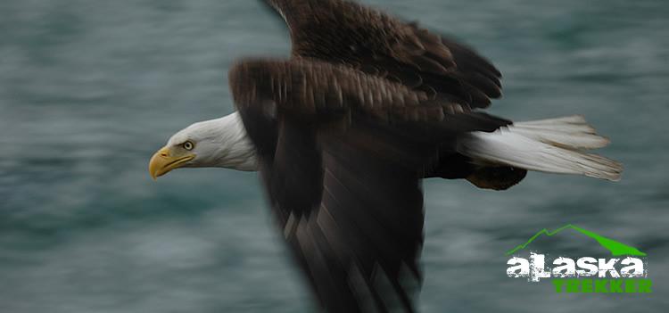 Bald Eagle Festival