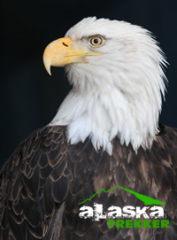 bald_eagle_Haines