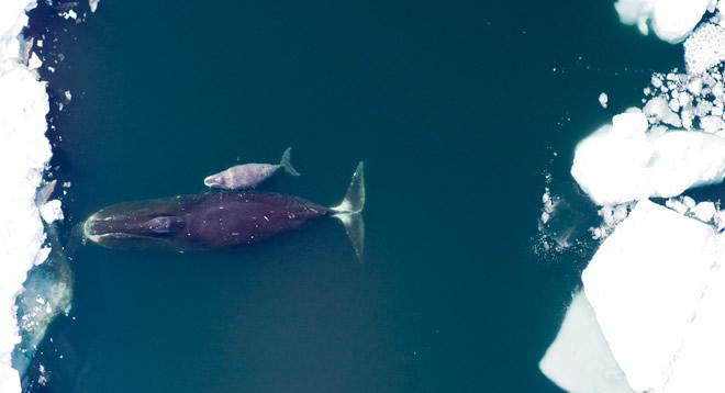 bowhead_whales