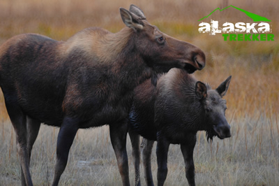 cow_moose_and_calf