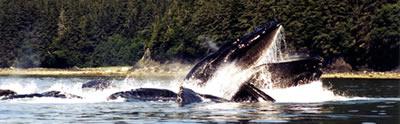 feeding_whales