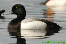greater_scaup