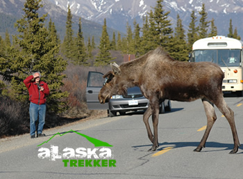 moose_on_alaska_road
