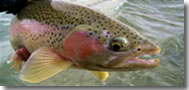 Rainbow Trout Alaska Fish