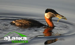 red-necked_grebe