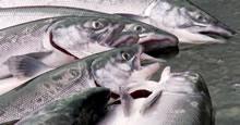 Coho Salmon Alaska Fish