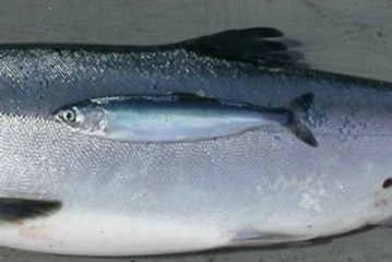 Forecasting Pink Salmon Harvest in Southeast Alaska