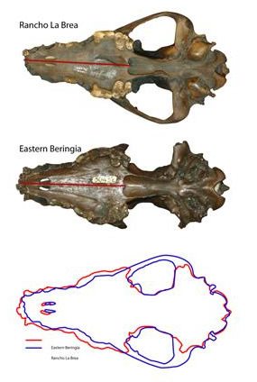 Pleistocene wolf skulls from Rancho La Brea (in present day L.A.), California (above) and Fairbanks (middle). Though the skulls are the same length, their shape is different—the wolf skull from Alaska is wider, suggesting those wolves had greater biting power. 