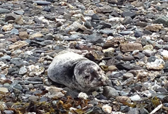 NOAA Fisheries rescue harbor seal pup near Juneau