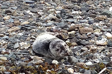 NOAA Fisheries rescue harbor seal pup near Juneau
