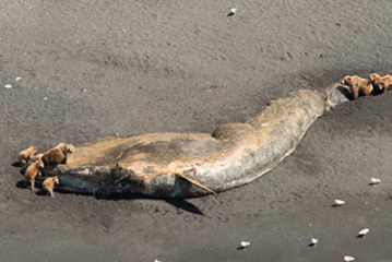 Deaths of large whales in Gulf of Alaska an unusual mortality event – NOAA