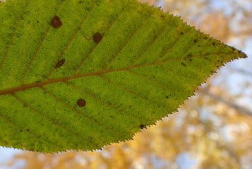 Alaska alders go their own way in autumn