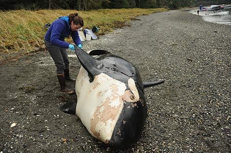 killerwhale-necropsy-jmoran