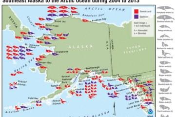 Harmful Toxins Detected in Alaska Marine Mammals