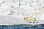 Alaska Polar Bears Walking a Treadmill of Ice