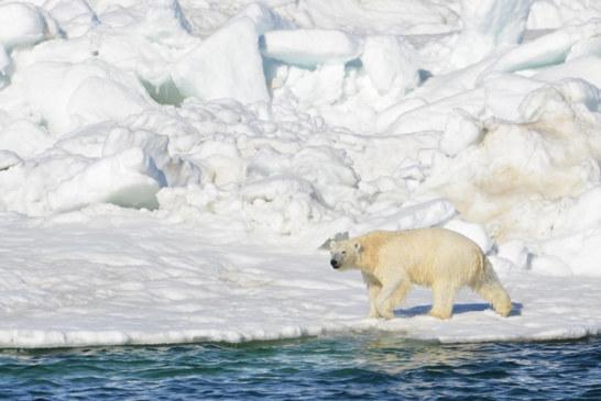 Alaska Polar Bears Walking a Treadmill of Ice