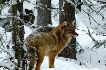 Coyotes are everywhere, even in Alaska