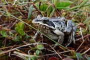Calling frogs signal the change of season
