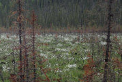 Fire breaks down and builds up Alaska boreal forest