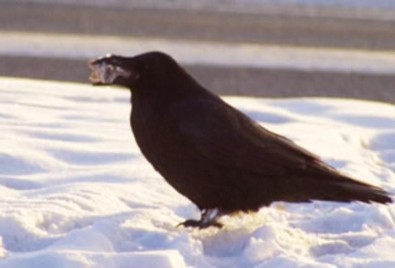 Are Alaska Ravens Responsible for Wolf Packs?