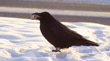 Are Alaska Ravens Responsible for Wolf Packs?