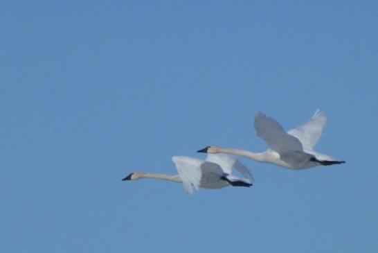 Tundra Swans Take Two Distinct Paths to Alaska