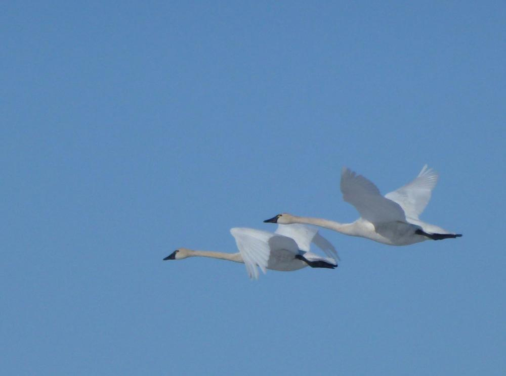 Tundra Swans Take Two Distinct Paths to Alaska