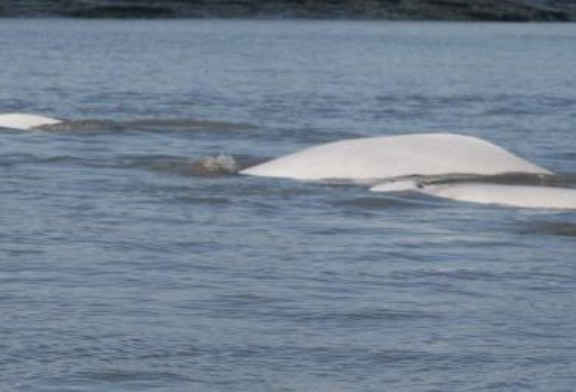 NOAA releases new population estimate for endangered Cook Inlet beluga whales