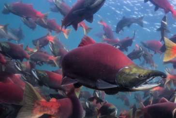 The most valuable wild salmon fishery in the world could become a mine under Trump