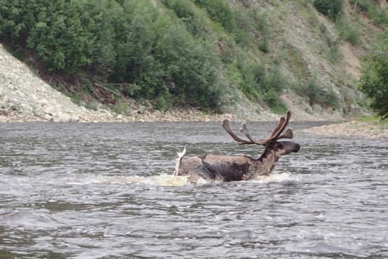 Caribou on the Run at Fortymile River