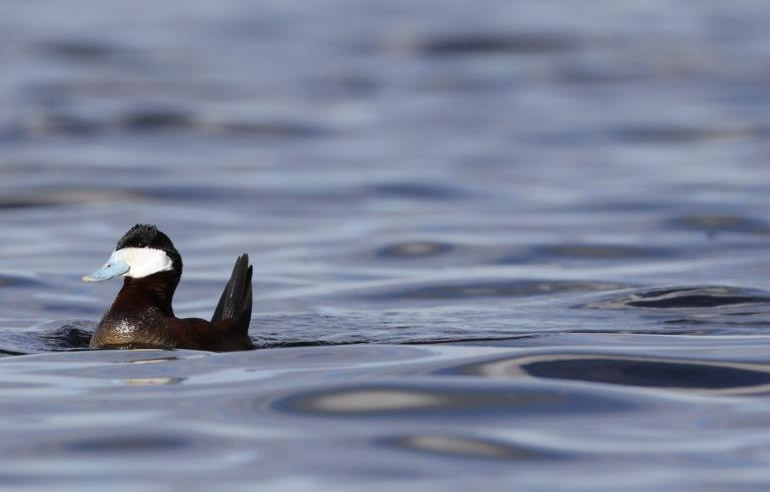 Changing Climate Forcing Ducks North to Alaska
