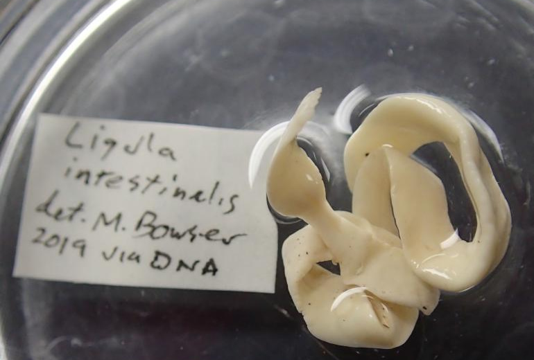 Fish Tapeworms Found Near Fairbanks Alaska Pond - Ligula intestinalis